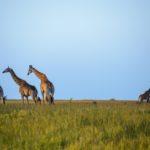 Safari Groepsreis Lodges 20 dagen Zuid-Afrika  Kruger park Swaziland, KwaZulu-Natal Tuinroute Lesotho en Kaapstad 25