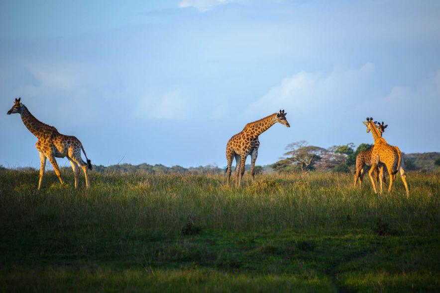 Safari Groepsreis Lodges 20 dagen Zuid-Afrika  Kruger park Swaziland, KwaZulu-Natal Tuinroute Lesotho en Kaapstad 96
