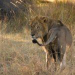 Safari Groepsreis Lodges - 30 DAGEN KAAPSTAD, ZUID-AFRIKA, NAMIBIË, BOTSWANA, VICTORIA FALLS, ZIMBABWE, JOHANNESBURG, KRUGERPARK & ESWATINI 99