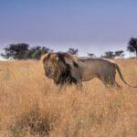Safari Groepsreis Lodges 20 dagen Zuid-Afrika  Kruger park Swaziland, KwaZulu-Natal Tuinroute Lesotho en Kaapstad 10