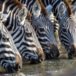 Safari Groepsreis Lodges 20 dagen Zuid-Afrika  Kruger park Swaziland, KwaZulu-Natal Tuinroute Lesotho en Kaapstad 12